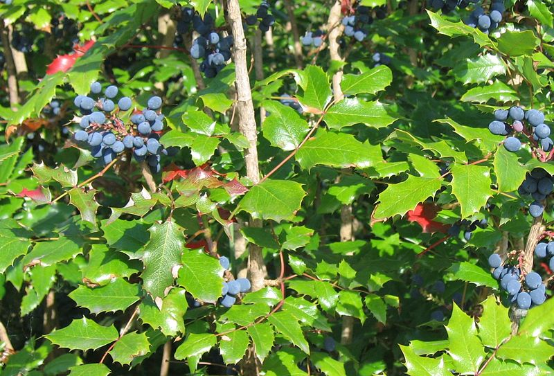 The Most Important Herbal Remedy: Oregon Grape Root - Herbal