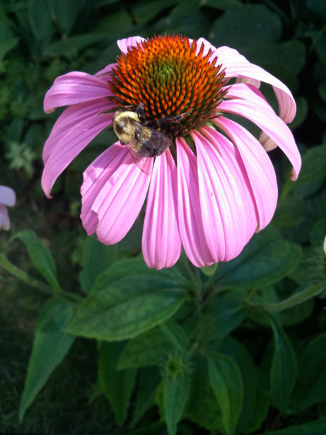 Herbal Prepper (podcast) Taking another look at Echinacea