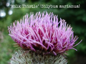 milk-thistle (Silybum marianum) | Your Guide to Safe Drinking Water Post Disaster | www.HerbalPrepper.com