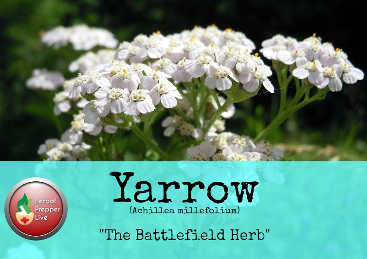 Yarrow: The Battlefield Herb | Herbs every prepper should know | Herbal Prepper Live | Herbalist Cat Ellis | Prepper Broadcasting | www.HerbalPrepper.com